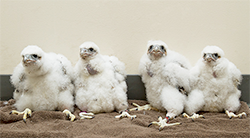 Falcon chicks.